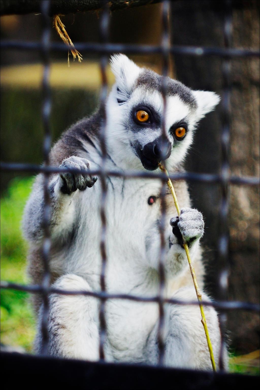Lemur. by Cynamonium