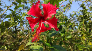 A beautiful red hibiscus flower.