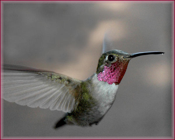 anna's hummingbird by Cmac13