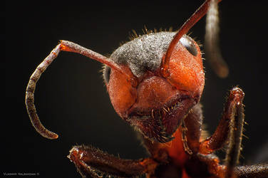 Ant by Nalby1981