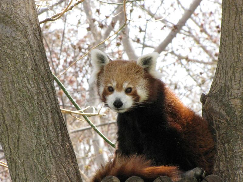 Red Panda by Teh-Pandacoon