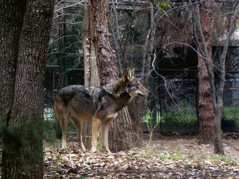 Mexican Wolf by Teh-Pandacoon