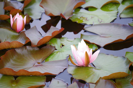 .Waterlily