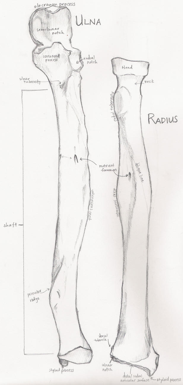 Ulna and Radius by SoraTanuki on DeviantArt