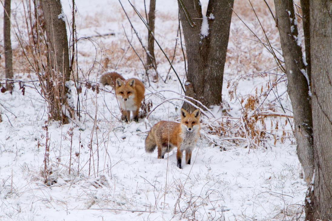 Foxes x2 by Zymmij