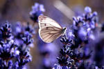 Lavender dance