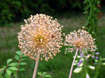 Puff Flowers