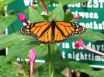 Monarch Butterfly Mackinac Isl