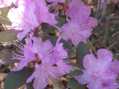 Rhododendrons in March?