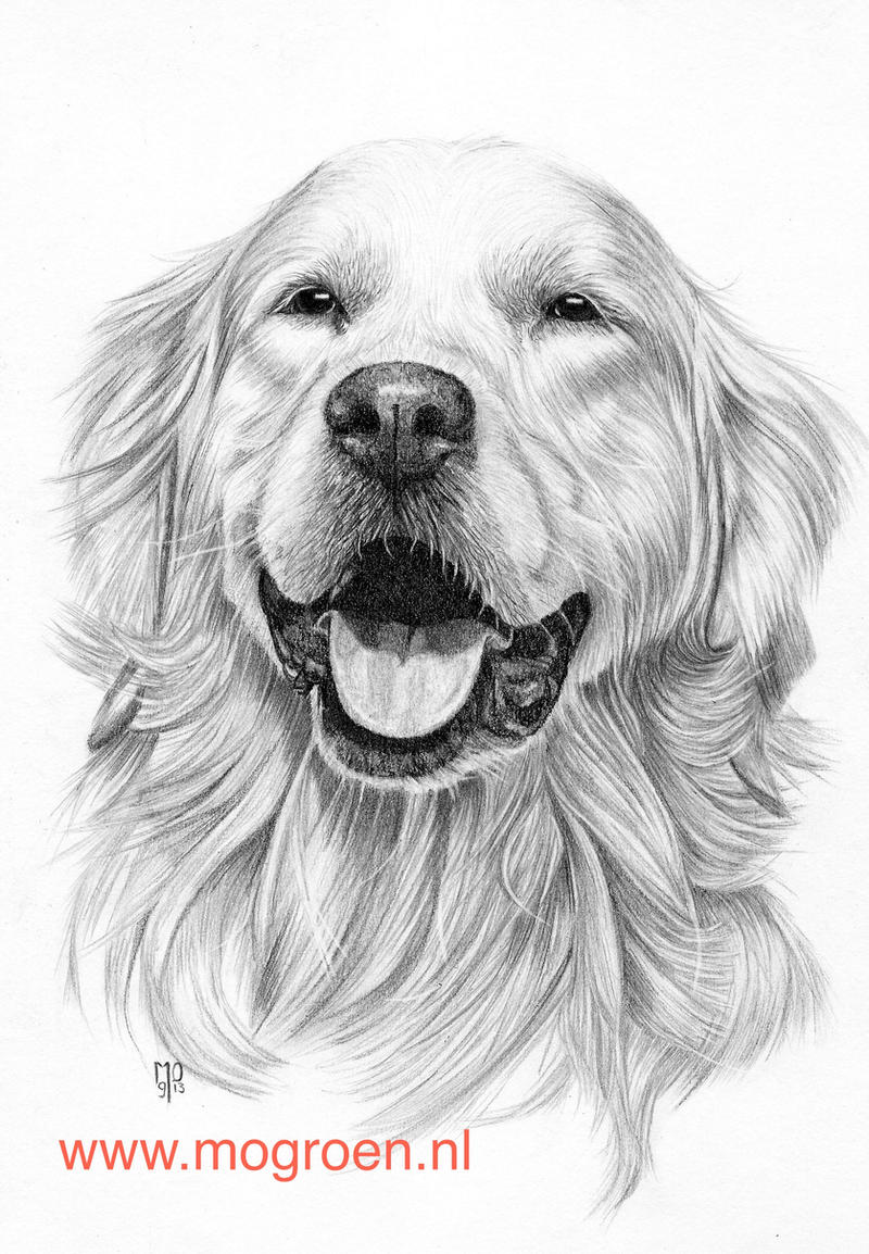Drawing Golden Retriever by mo62 on DeviantArt