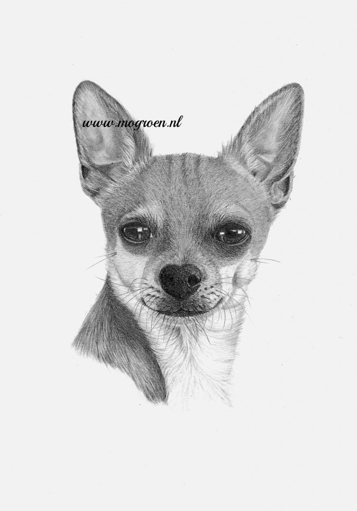 Chihuahua dog drawing by mo62