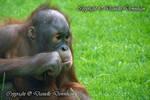 Orangutan stare by RossoCorvino