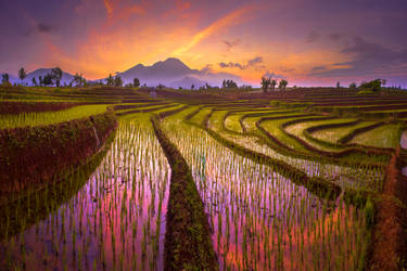 morning sunrise at paddy fields in north bengkulu
