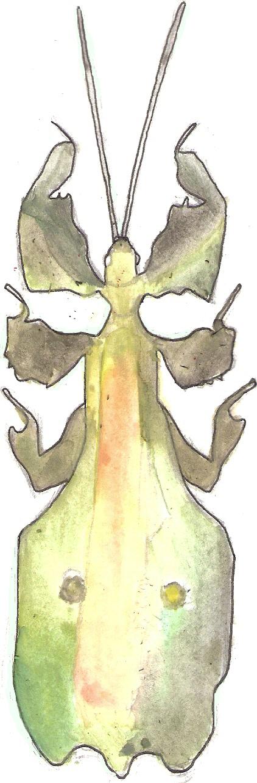 [Image: phyllium_bioculatum_pulchrifolium_by_per...7rr1cn.jpg]