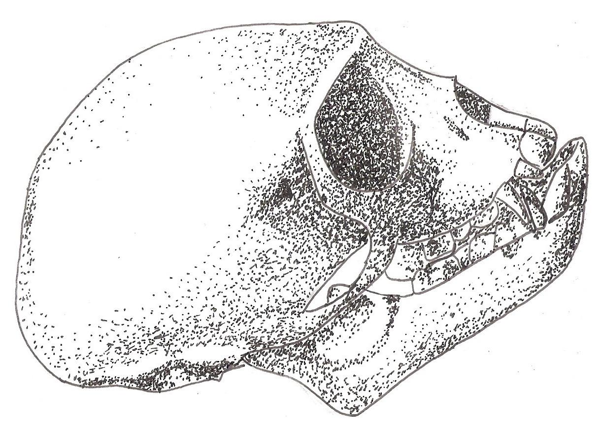 [Image: chlorocebus_pygerythrus_skull_by_personi...7ywqzb.jpg]