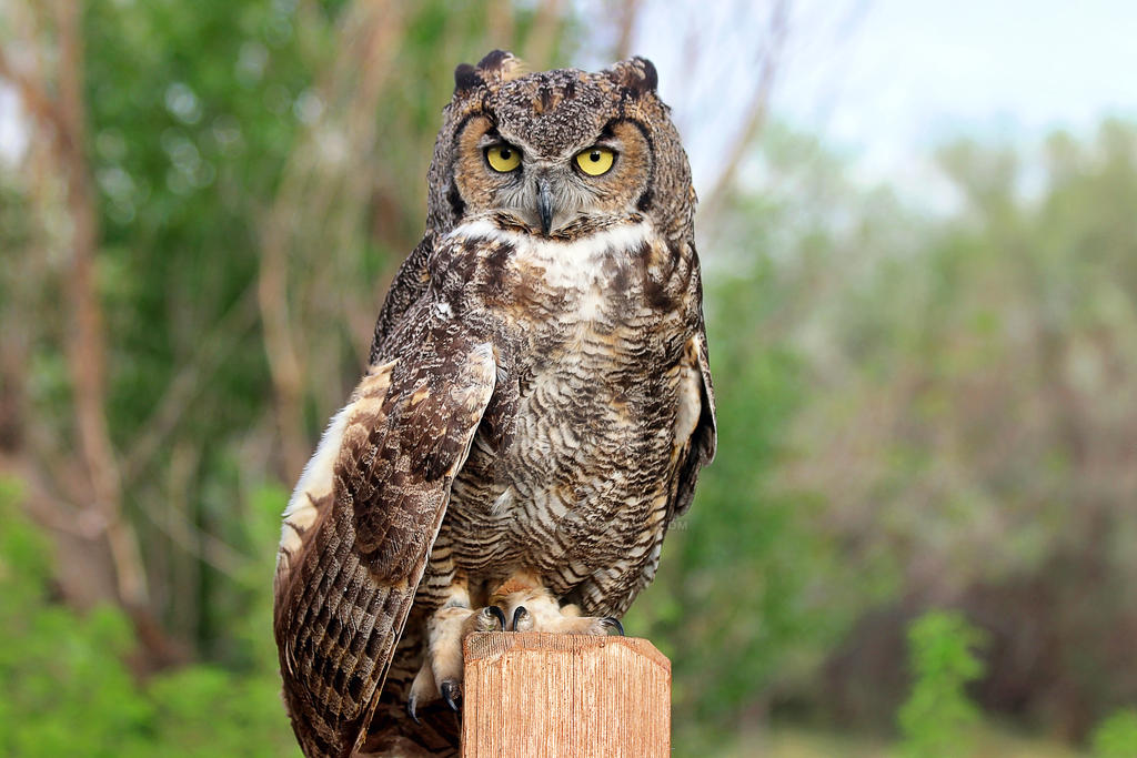 Guffey the Great Horned Owl by LorreesWorld
