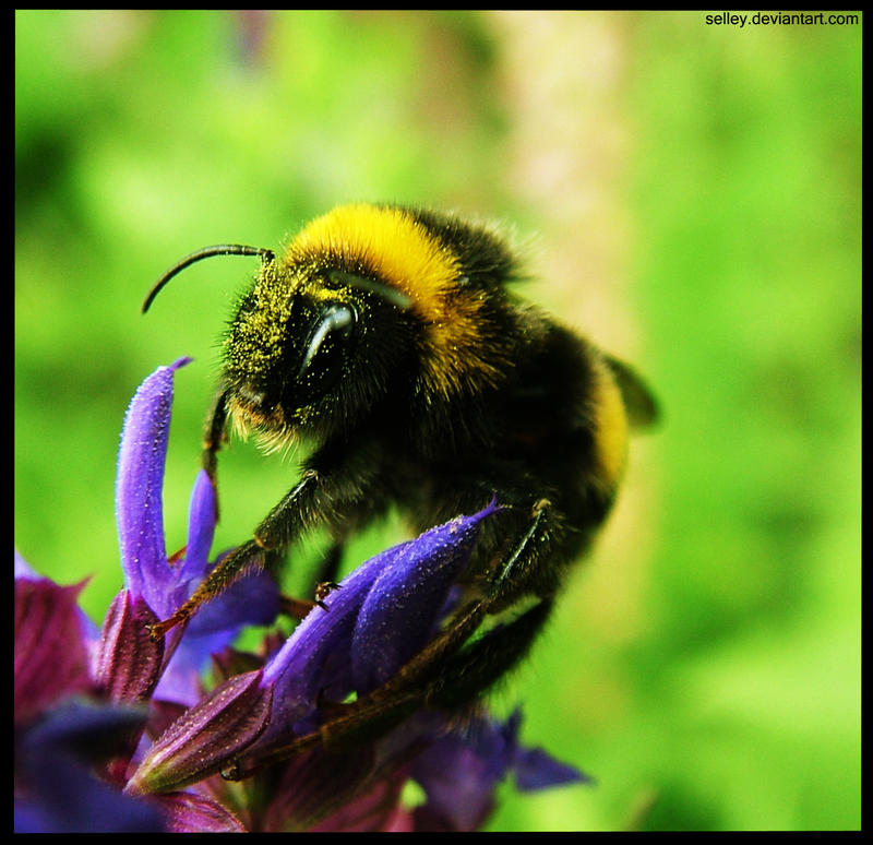 Bumble bee by selley