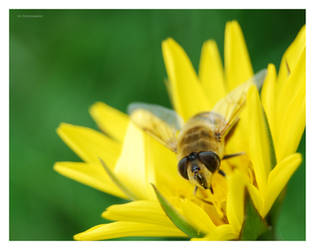 Hoverfly macro by selley