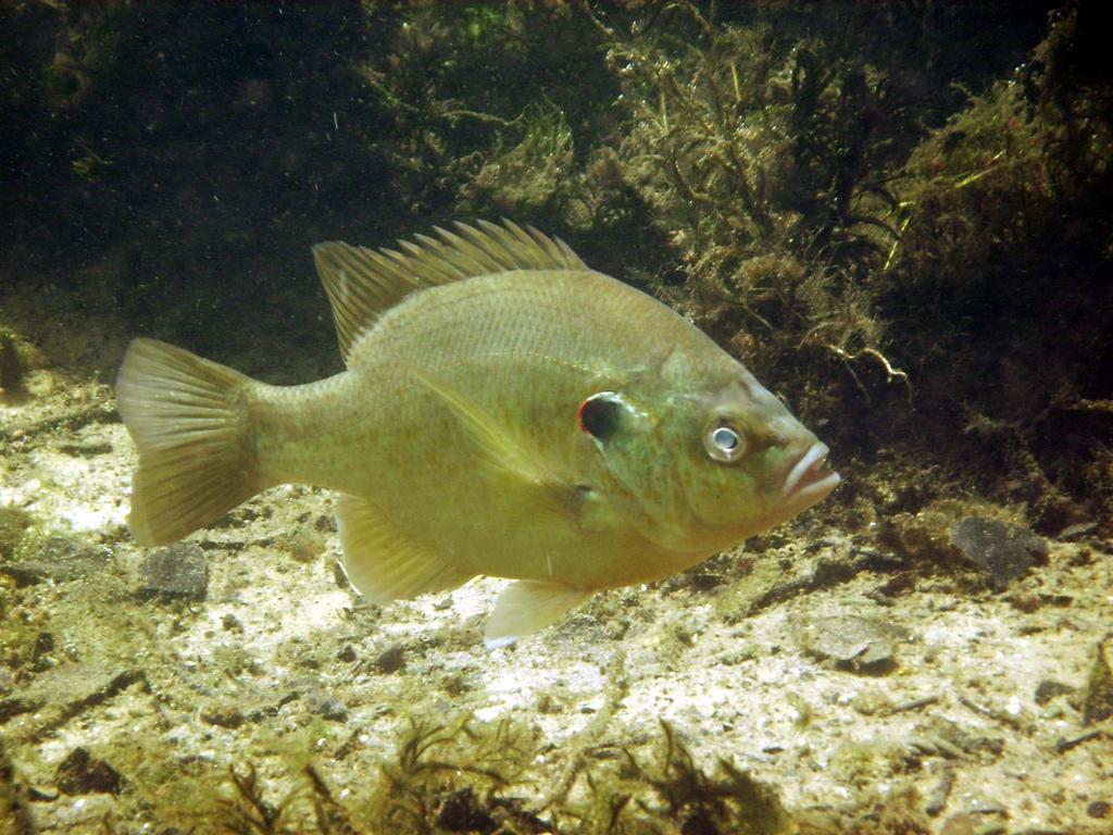 Shellcracker Or Redear Sunfish By Tioedbob On DeviantART
