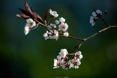 Cherry Blossom - Spring 2015 by RSable