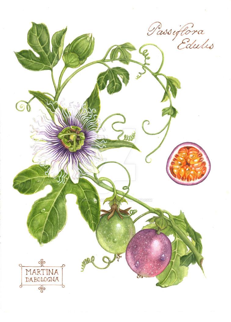 Study of Passiflora Edulis by MartinaDaBologna