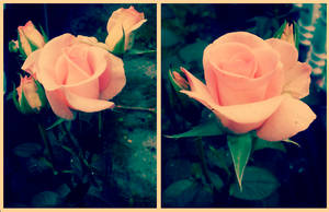 Rose_5 by SunnyGirl33