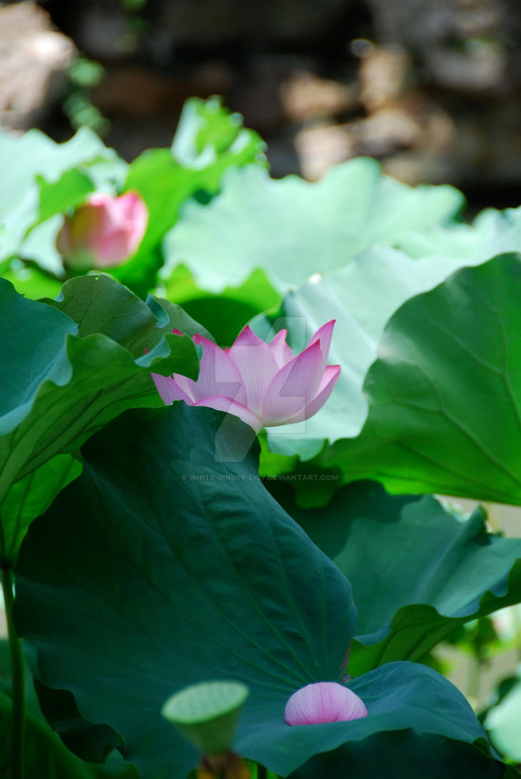 Hidden Lotus By White Ginger Lily On Deviantart
