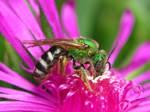 Super Green Hornet