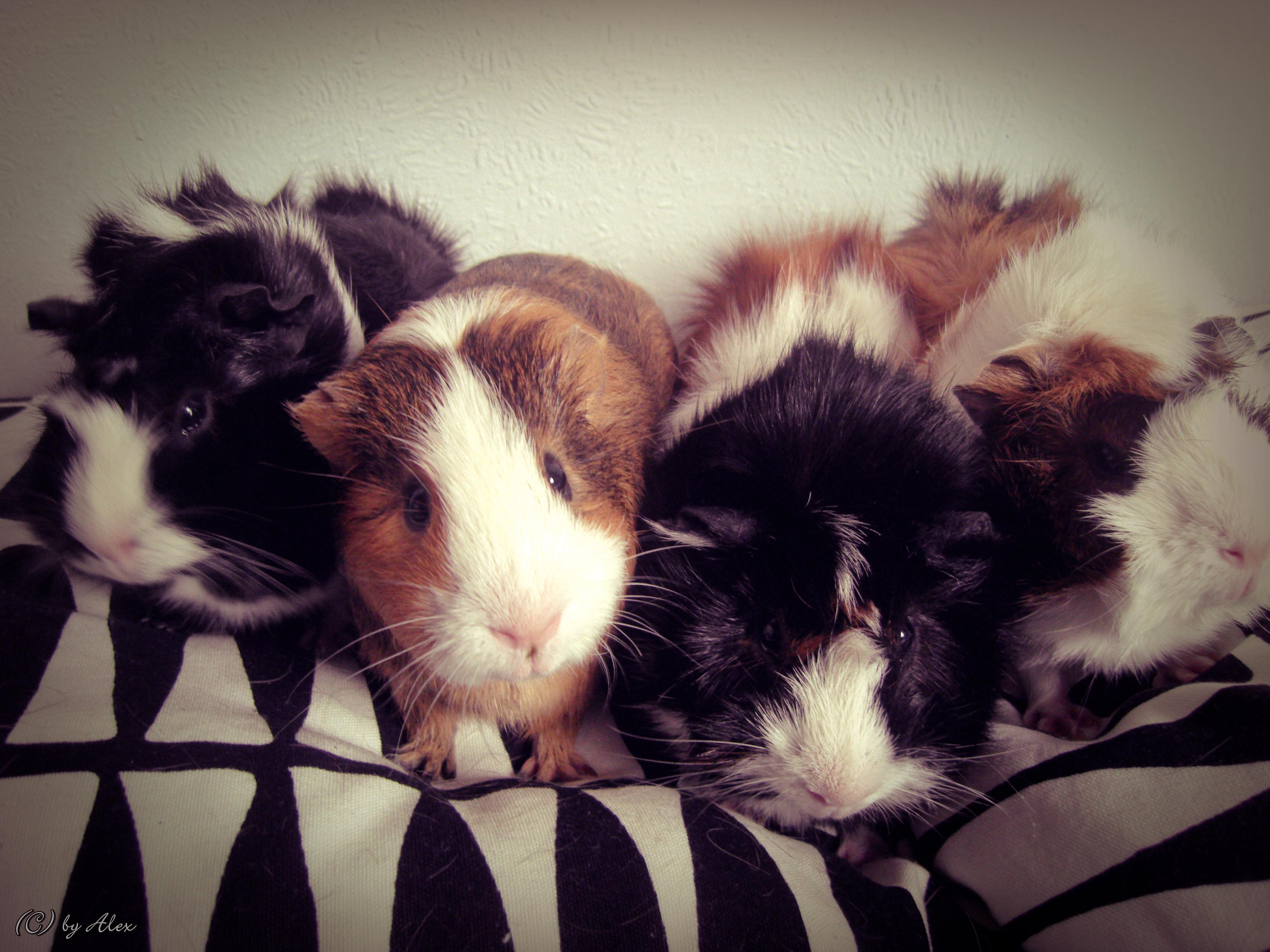 Guinea Pigs by Muggi93