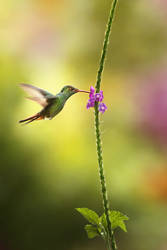 Hummingbird the 1st by RadekDemjan