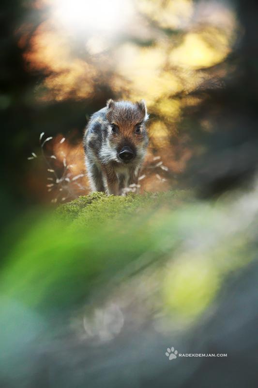 Little piggy by RadekDemjan