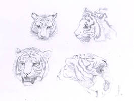 Some tigers faces by Schoyhan
