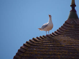 The howling gull