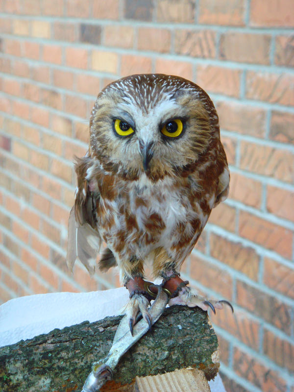 baby owl by Designdivala