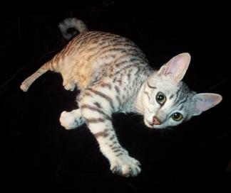 Mau kitten by Designdivala