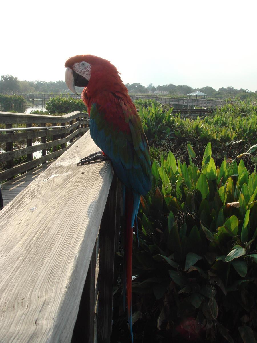 swamp parrot by Designdivala