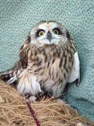Baby owl 9 by Designdivala
