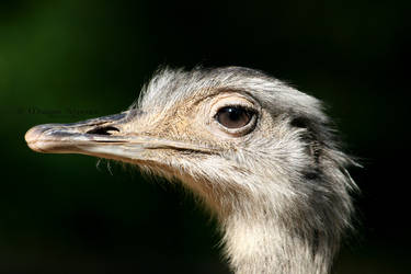 Greater Rhea portrait by MorganeS-Photographe