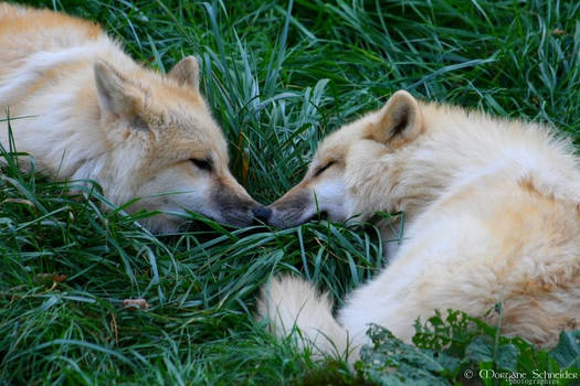 Arctic Wolves Cubs Lovers by MorganeS-Photographe