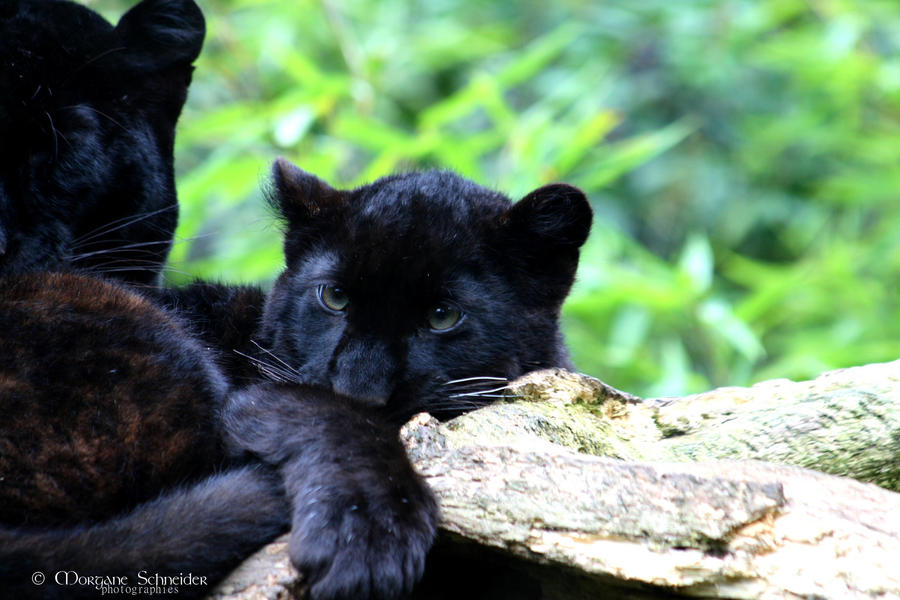 Black Leopard Cub II by MorganeS-Photographe on DeviantArt