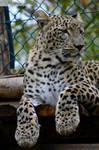 Persian Leopard I
