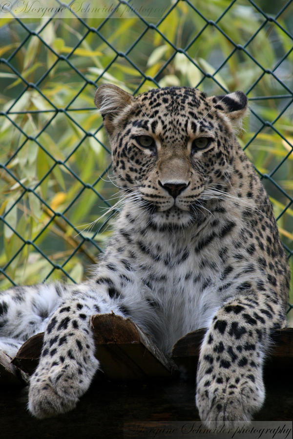 Persian Leopard II by MorganeS-Photographe
