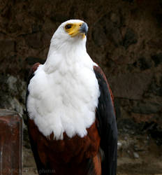 African Fish Eagle II by MorganeS-Photographe