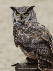 Great Horned Owl by MorganeS-Photographe