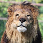 I'm a HAPPY Lion King