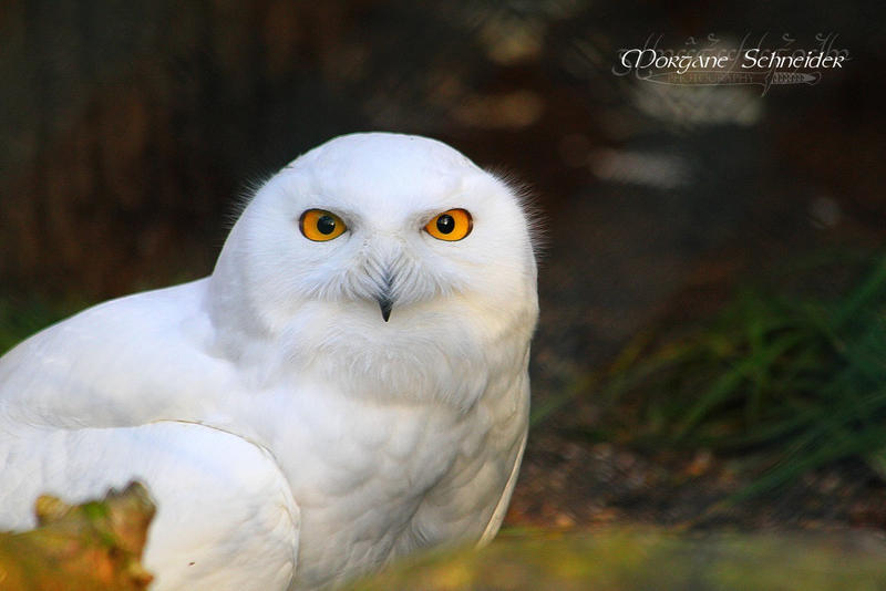 This owl sees you by MorganeS-Photographe