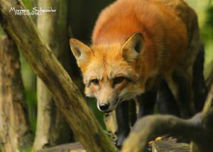 Red fox hunting