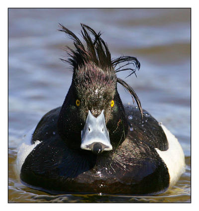 Funny duck by Wearwolfaa on DeviantArt
