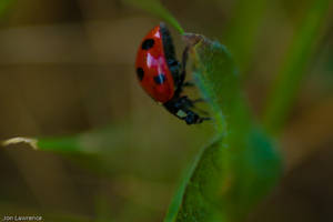 Ladybug by nemisis11
