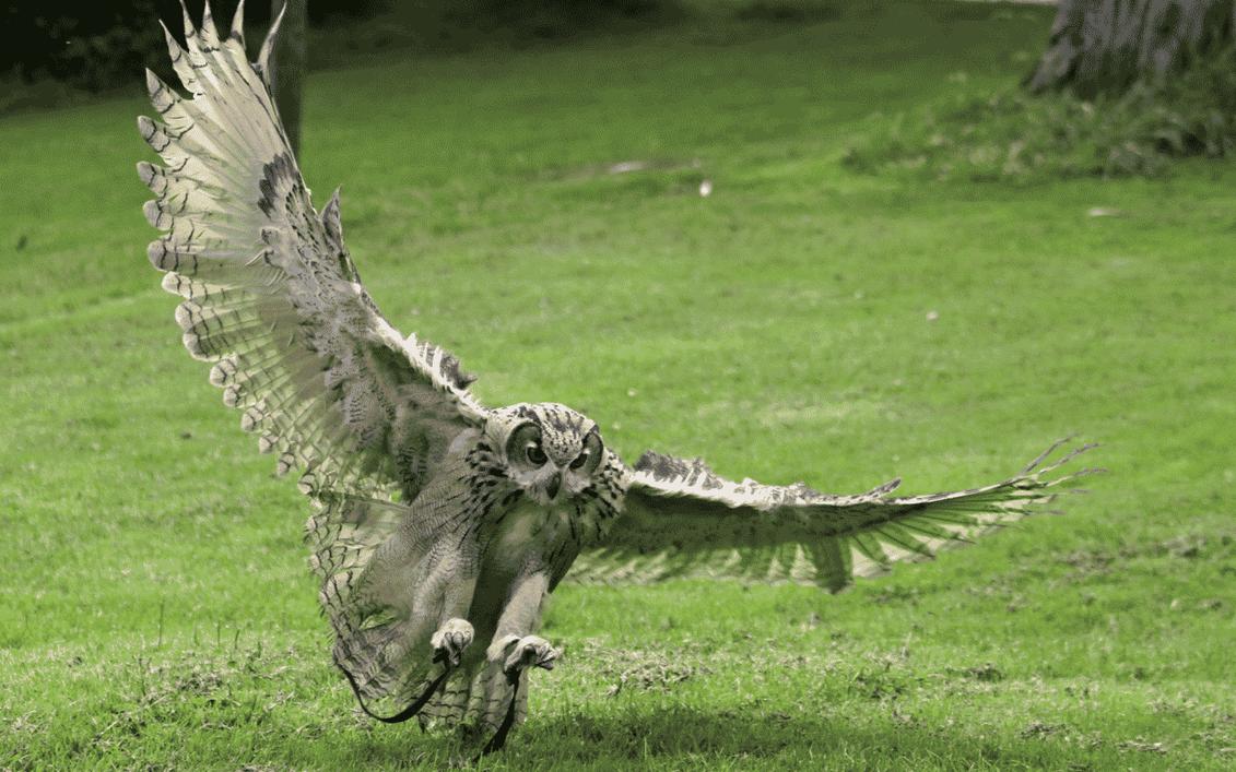 Owl by skateboarder11